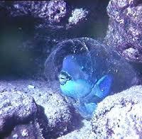 Scuba Cat Diving Phuket Thailand Parrot fish sleeping