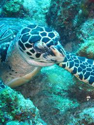 Scuba Cat Diving Phuket Thailand Sleeping Turtle