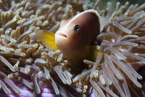 Scuba Cat Diving Phuket Thailand Anemone Fish