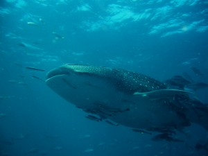Scuba Cat Diving Phuket Thailand Whaleshark