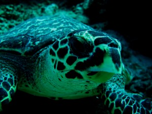 Scuba Cat Diving Phuket Thailand Turtle
