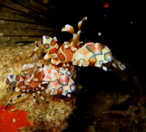Scuba Cat Diving Phuket Thailand Harlequin Shrimps