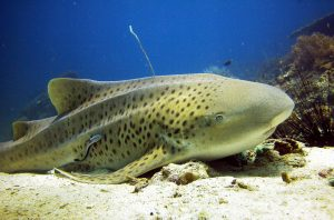 Scuba Cat Diving Phuket Thailand Leopard Shark
