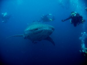 Scuba Cat Diving Phuket Thailand Whale Shark