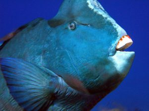MV Scuba Adventure Bump Head Parrot fish