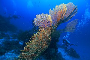 MV Scuba Adventure Sea Fan
