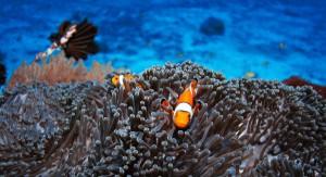 Scuba Cat Diving Phuket Thailand Nemo