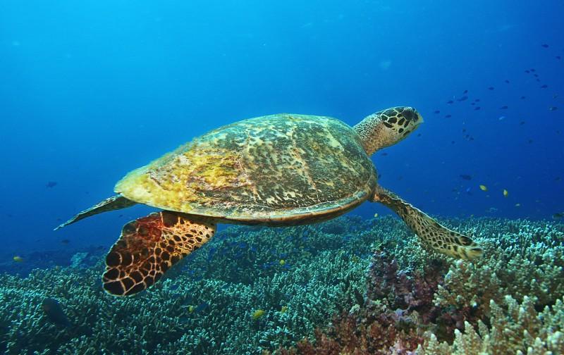 Scuba Cat Diving Phuket Thailand Turtle