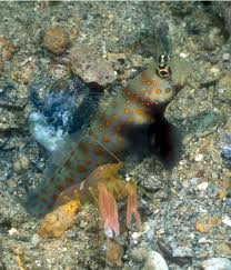 goby 8