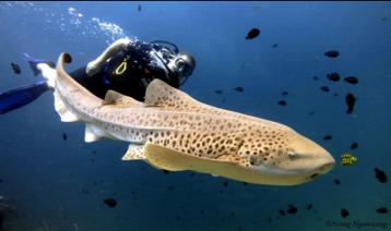 Leopard Shark Scuba Cat Diving Phuket Thailand