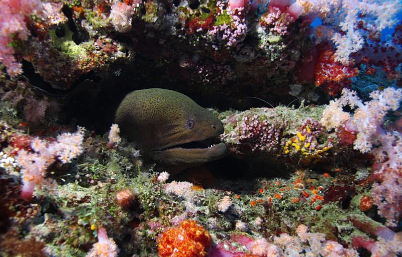 Scuba Cat Diving Phuket Thailand Moray Eel